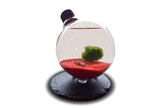 marimo-moss-ball-in-light-bulb-terrarium-rare-live-moss-just-place-them-into-light-bulb-and-add-wate