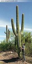 riesen-kaktus-carnegiea-gigantea-saguaro-15-samen-fruchtbildung