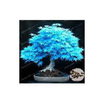 gro e verk ufe 20pcs blau ahornsamen chinesische seltene blaue bonsai ahornbaum samen bonsai. Black Bedroom Furniture Sets. Home Design Ideas