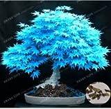 Baumsamen 20 Ahornsamen Bonsai blau Pflanzen Samen Balkon Ahorn Japanischer