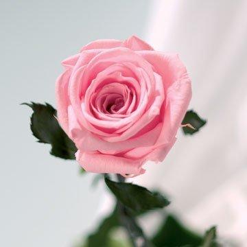 Rose naturelle stabilisée, rose pastel