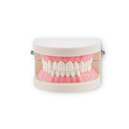 Denshine 8.1cm x 6.7cm x 5.2cm Dental Demonstration Model for dentist, Standard tooth model, natomy Typodont Orthodontic , Teeth Normal Standart by Denshine