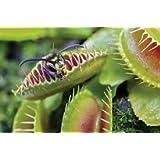 Venus - Trampa para moscas, 2 plantas carnívoras en maceta de 9 cm