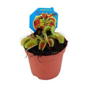 Dionaea, Venusfliegenfalle von pflanzenbringer.de bei Du und dein Garten