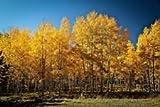 100 Zitterpappel-Baumsamen - Populus Tremuloides Bonsai USA - BKSeeds