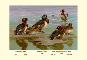 Buyenlarge 08882-6P2030 White-Eyed Ducks 20x30 poster - White Eyed Ducks