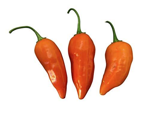 Jamy -Chili- 10 Samen -Riesen Pflanze mit Top Ertrag