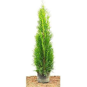 80 Stück Thuja Smaragd  Heckenpflanze immergrüne Lebensbaum  40-50 cm im Topf