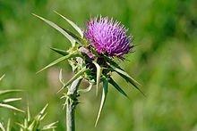 JustSeed Mariendistel / Silybum marianum, Britische Wildblume, 30Samen