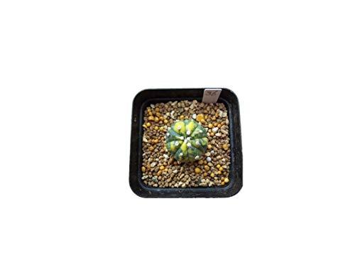 KINGDUO Egrow 10Pcs/Pack Core Jaune Cactus Graines De Graines De Plantes Mini Bonsaï Succulentes Vert