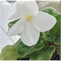 IDEA HIGH Seeds-100 Pcs/bolsa Color de mezcla popular Disponible Bonsai violeta para ver Flor Perfumada por la tarde Stock Violet Diy Planta de jardín en casa: 7