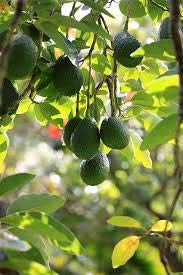 Portal Cool Paquete Verde / 10Pcs: Perenne multicolor aguacate Semillas Semillas de frutas plantas al aire libre Semillas Agsg