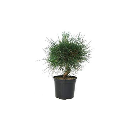 Prebonsái Pinus thunbergii 8 años