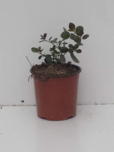 pianta vera di Capparis spinosa inermis (cappero) v16 da cucina ...