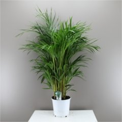 beautiful-butterfly-indoor-palm-tree-areca-lutescens-next-day-delivery-option-palm-christmas-gift-ch