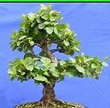 Alnus glutinosa - Schwarzerle - 20 Samen