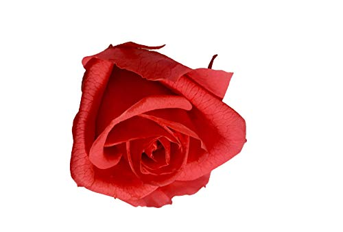 premium-rose.com Rosa Antico Cubo Rosa Stabilizzata 6cm Rosa Antico Fucsia 6x6x6 Rosa eterna