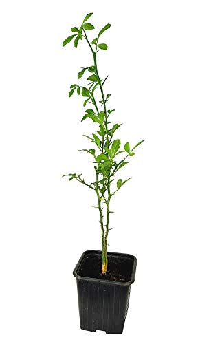 Seedeo® Bitterorange (Poncirus trifoliata) Pflanze ca. 30-40 cm