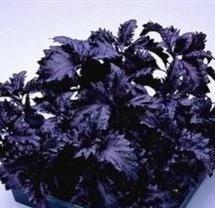 500-dark-opal-basil-purple-ruffles-ocimum-basilicum-herb-flower-seeds-by-seedville