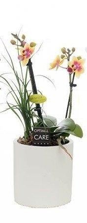FloraStore - Phalaenopsis 2 + nolina branche en pot blanc (plante blanc) (1x), Hauteur25 CM, Plante d'Intérieur
