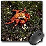 Danita Delimont - Galapagos Islands - Ecuador, Galapagos Islands, Sally Lightfoot Crab - SA07 BFR0009 - Bernard Friel - MousePad (mp_86017_1) - Sally Lightfoot Crab