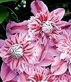 BALDUR-Garten Waldrebe Clematis 'Josephine TM Evijohill N', 1 Pflanze von Baldur-Garten auf Du und dein Garten