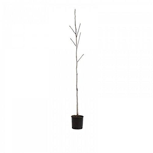 pianta-di-noce-in-vaso