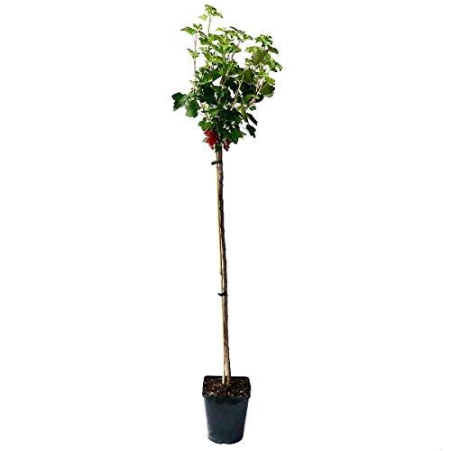 Müllers Grüner Garten Shop Rolan (R) rote Johannisbeere, große Trauben, fein-säuerlich, Hochstamm 130-150 cm im 5 Liter Topf