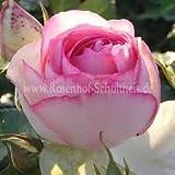 100 stücke Samen Regenbogen Rose m pink /weiss