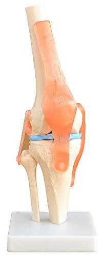 Lebensgroßes menschliches Kniegelenk - BEWEGLICH - von MedMod
