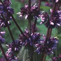 Plant World Seeds - Salvia Amplexicaulis Seeds
