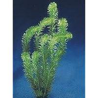 Egeria densa aquatic plant Los