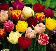 100 Bulbes de tulipes doubles \