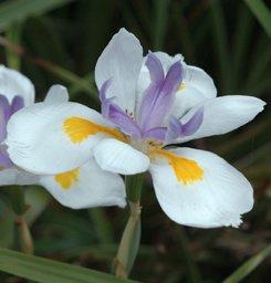 Seedeo Pfauenblume - Wilde Iris (Dietes grandiflora) 10 Samen