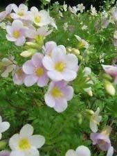 ANVIN Keim Seeds: Delight Jakobsleiter (100 Seeds), Polemonium carneum leicht anzubauen