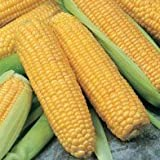 SeeKay Sweetcorn F1 Incredible 20 seeds