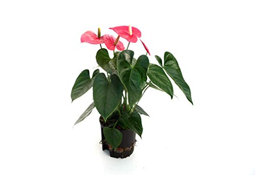 EVRGREEN | Zimmerpflanze Anthurie in Hydrokultur mit weißem Topf als Set | Flamingoblume | Anthurium andreanum 'Turenza' mittelrot