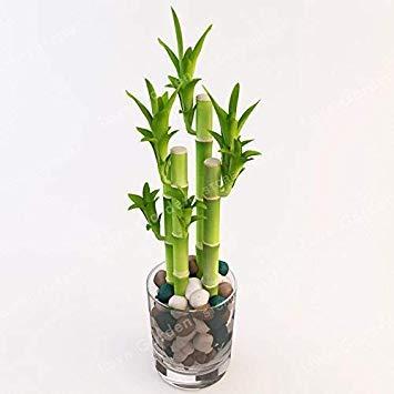 50pcs lucky bamboo bonsai, piccolo vaso piante purificano l'aria, piantare è semplice, germogliamento tasso del 95% piante ornamentali albero: 4