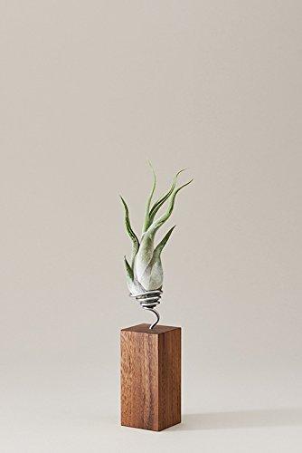 evrgreen-luftpflanzen-tisch-deko-tillandsie-mit-design-nuss-baum-holz-halter-pflegeleichte-tisch-pfl