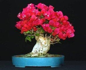 100% originales de haute qualité 50pcs Mix-couleur Bougainvillea spectabilis Willd Graines bonsaï plantes graines de fleurs