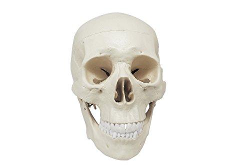 3 piezas de calavera humana modelo anatómico, tamaño de vida