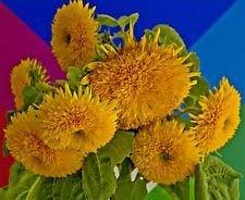 Fash Lady Sonnenblume, TEDDY BEAR, gelbe Blume, TEDDYBEAR, 15 Samen!GroCo -