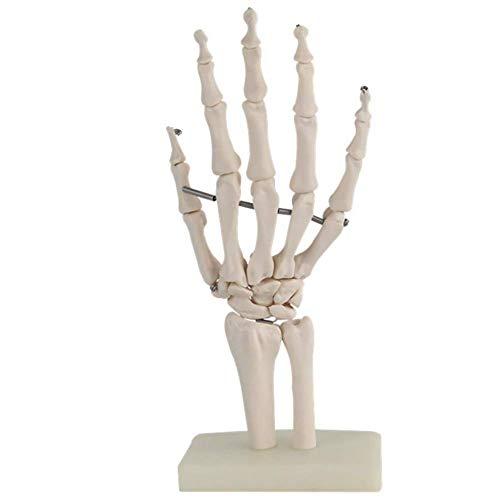 and Skelett Model | lebensgroßes anatomisches Handmodell ()