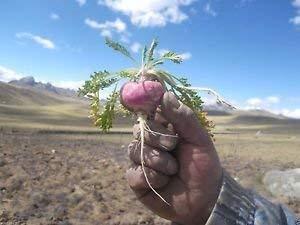 Farmerly Maca Roja, 200 semillas, Ginseng peruano peruana súper, fácil de cultivar!