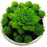"Indian Meadows | Sempervivum Arachnoideum""Tectorum"" succulent live plant | (Laxmi vishnu kamal/Roof houseleek/Thunder plant- pack of 1 plant"
