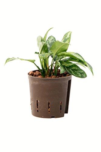 Kolbenfaden, Aglaonema commutatum Maria, Zimmerpflanze in Hydrokultur, 13/12er Kulturtopf, 25 - 30 cm