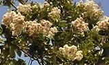 ANVIN Germinazione dei Semi: Legname Cordia Alliodora Semi profumato a Forma di Stella Fiori Bianchi (5)