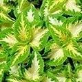 """Buntnessel """"Wizard Jade"""", 50 Samen von Nuts n' Cones - Du und dein Garten"""