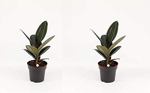 Gummibaum 25-30 cm 2 Stück Ficus elastica Abidjan Zimmerpflanze