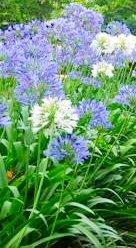 Immergrün weißen Blüten: